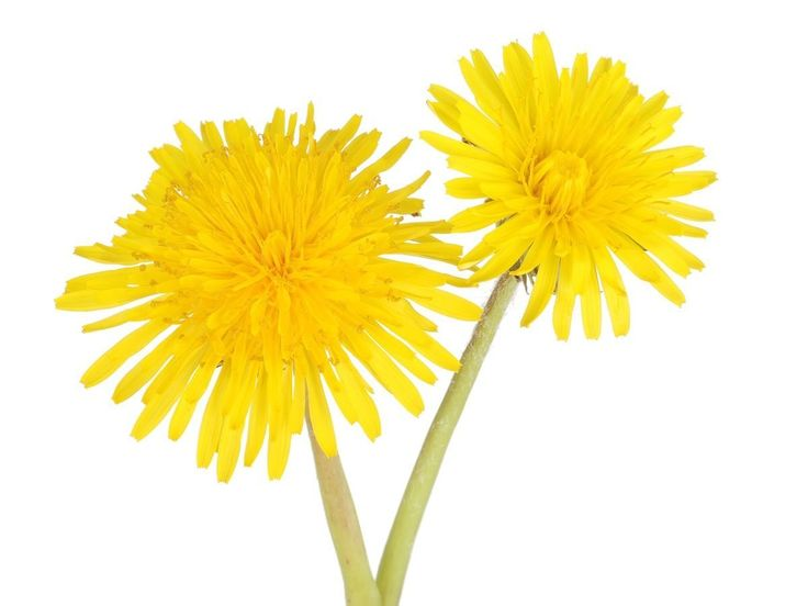 The health benefits of dandelion include relief from liver disorders, diabetes, urinary disorders, acne, jaundice, cancer and anemia. It also helps in maintaining bone health, skin care and weight loss. Perhaps dandelion is more popular as an ornamental flowering plant than as a medicine. The flowers of dandelion look brilliant and can be seen in various gardens and parks. There are many varieties of dandelion, but the common dandelion is scientifically known as Taraxacum Officinale.