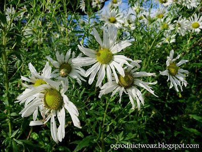 Ogrodnictwo od A do Z : Jastruń późny (Złocień późny)- Leucanthemella sero...