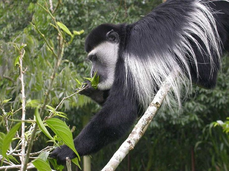 The mantled guereza (Colobus guereza), also known simply as the guereza, the