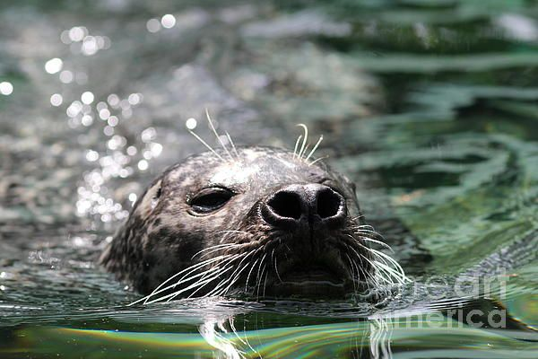 Swimming Seal in Summer