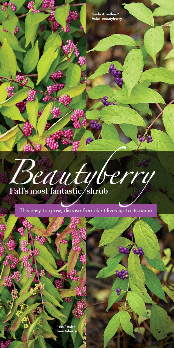 Beautyberry Fall S Most Fantastic Shrub Free Plants Shrubs