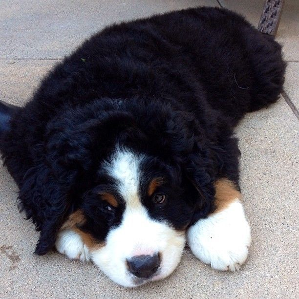 I'm so thankful I have a Bernese. They are the best! via @KaufmannsPuppy