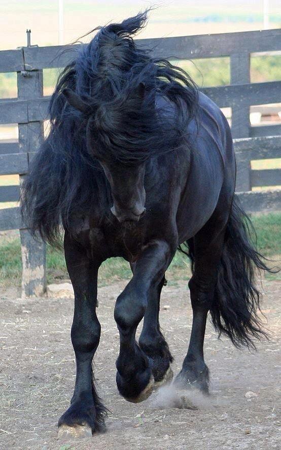 Фризская лошадь черный жеребец для выездки MyohoDane