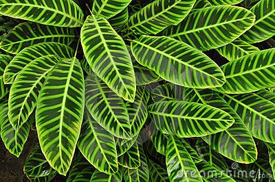 Green Tropical Leaves, Background Stock Photos - Image: 23905373