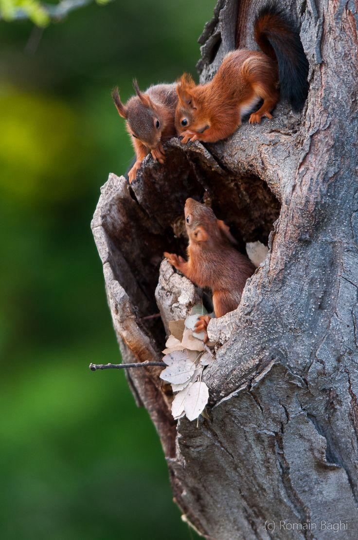 écureuil roux                                                                                                                                                      More