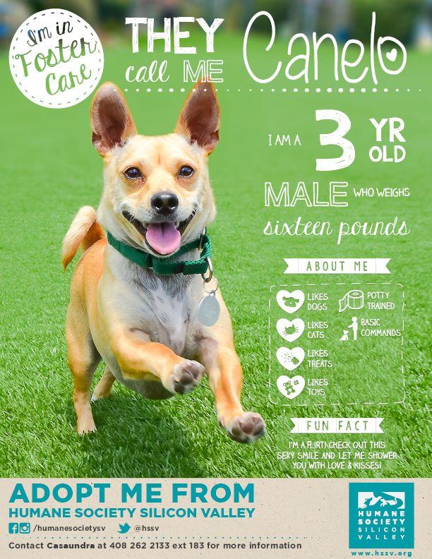 Chihuahua Mix Dog Available For Adoption Loki A 113679 Humane Society Silicon Valley Milpitas California Dog Adoption Photos Dogs Dog Marketing