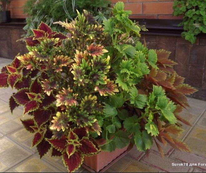 Цветы в горшках и подвесных корзинах - 3 | Страница 116 | Форум - FORUMHOUSE