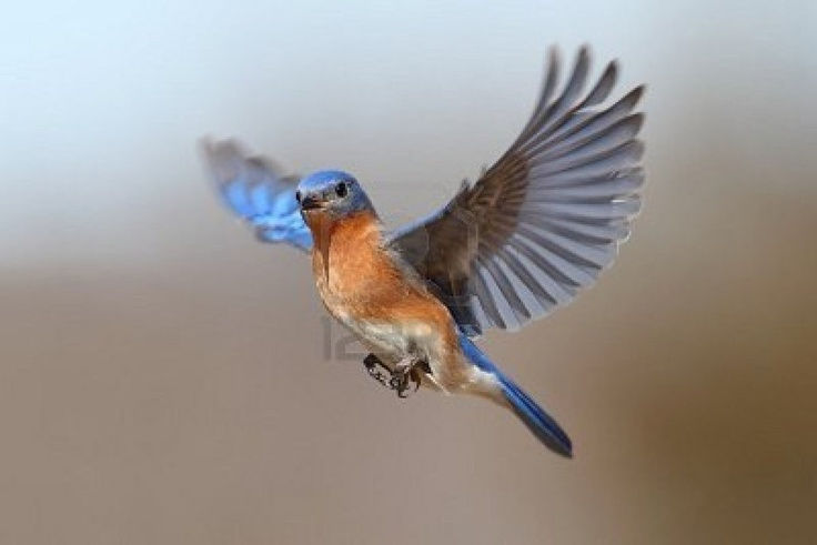 Male Eastern Bluebird (Sialia Sialis) In Flight Royalty Free Stock ...   © Copyright us.123rf.com