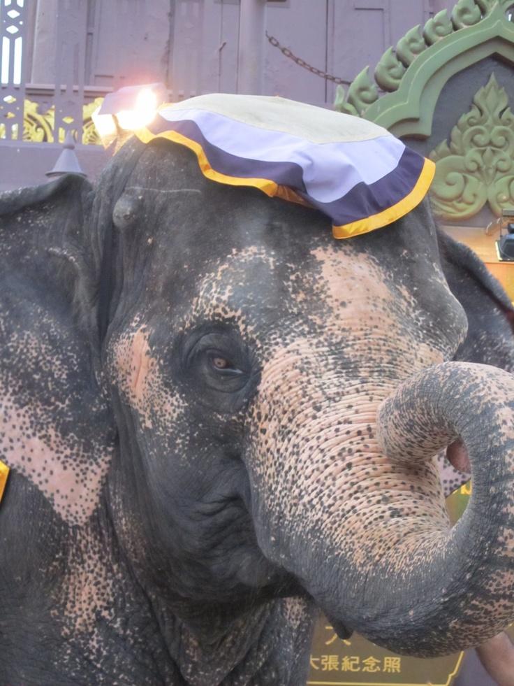 Los elefantes tailandeses son preciosos y muy sociables. Podrás encontrar alguno en la playa!!!!!