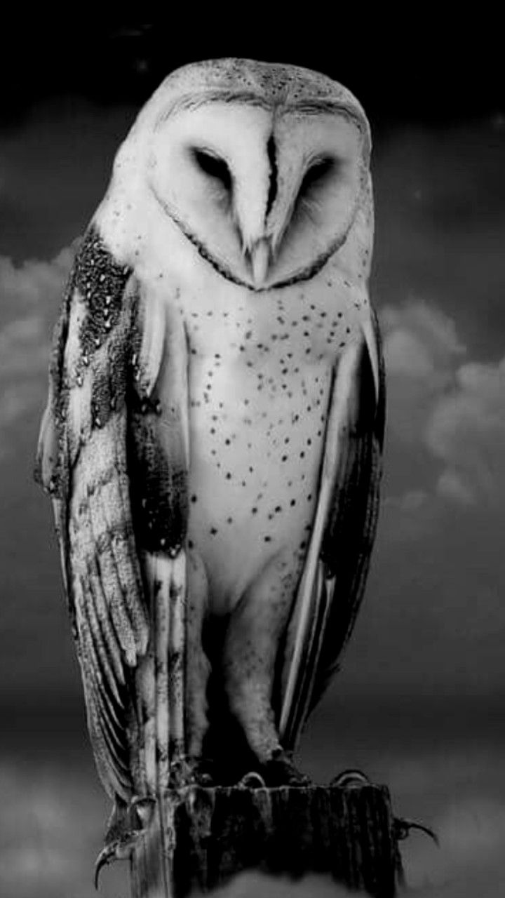 Masked owl (or is it a barn owl?) in black and white