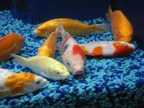 17 best images about fish pond on pinterest small corner for Koi pond rock bottom