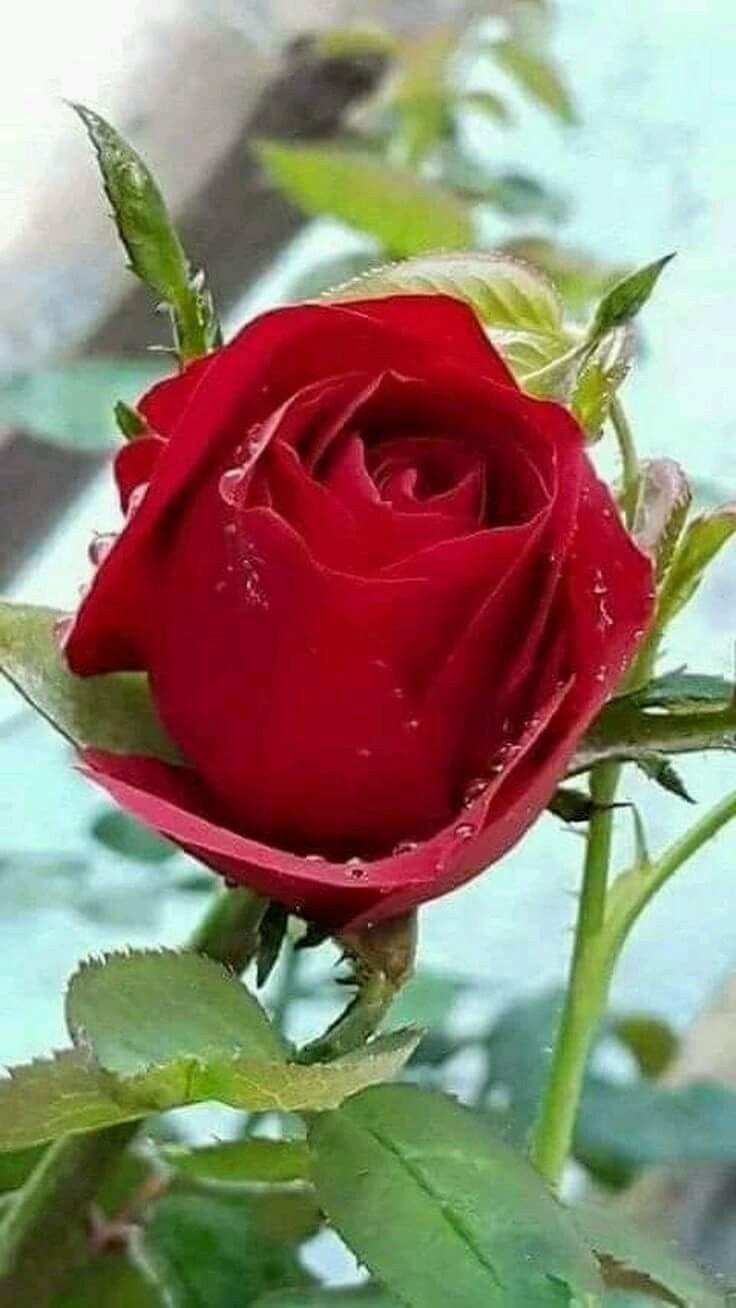 Bela Rosa Vermelha Com Imagens Belas Rosas Vermelhas Rosas