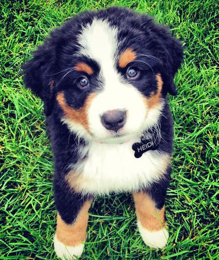 Heidi the Bernese Mountain Dog Pictures 927083