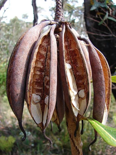 Waratah Seed Pods by ibsut, via Flickr