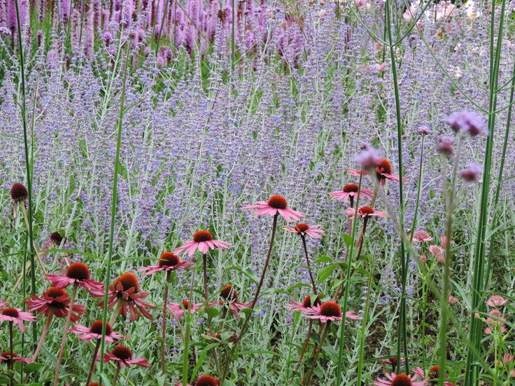 Echinacea 'Magnus', Perovskia Little Spire (doesn't topple over!), Liatris spicata. Sean McGeachy.