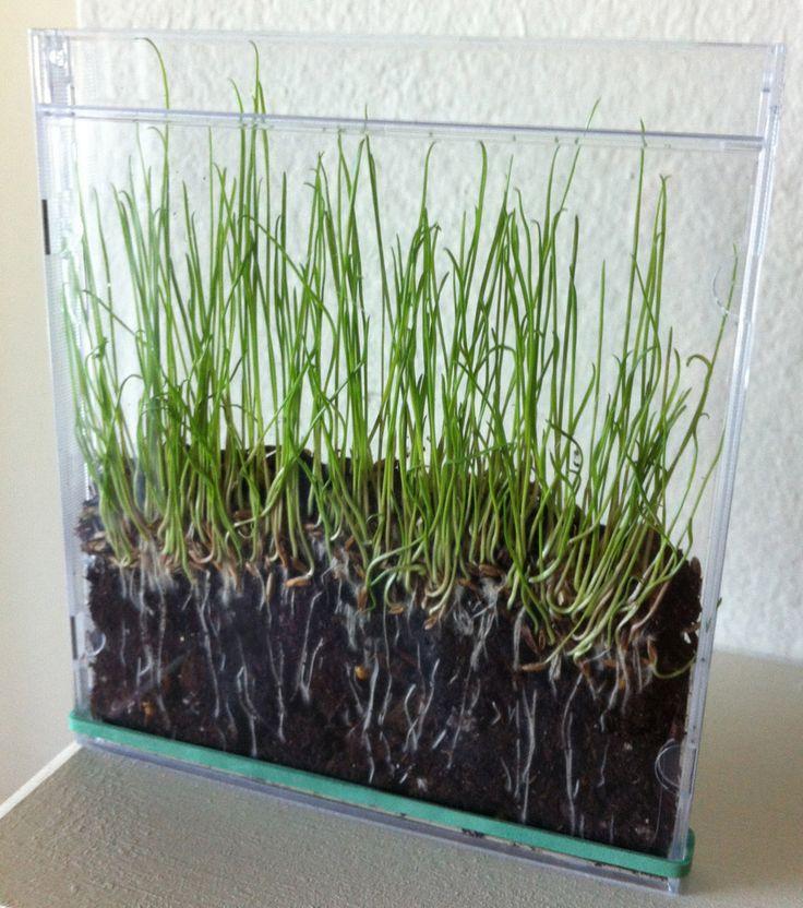 Planter des graines dans un étui de CD! On peut bien observer les racines...
