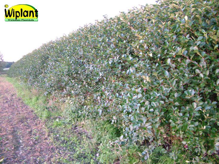 Aronia melanocarpa, Aronia Mörkgröna fina blad, vacker höstfärg, ätliga bär. Finns även sorterna 'Hugin' (låg) och 'Viking' (bäraronia). 1-3 m hög. Klippt eller friväxande.