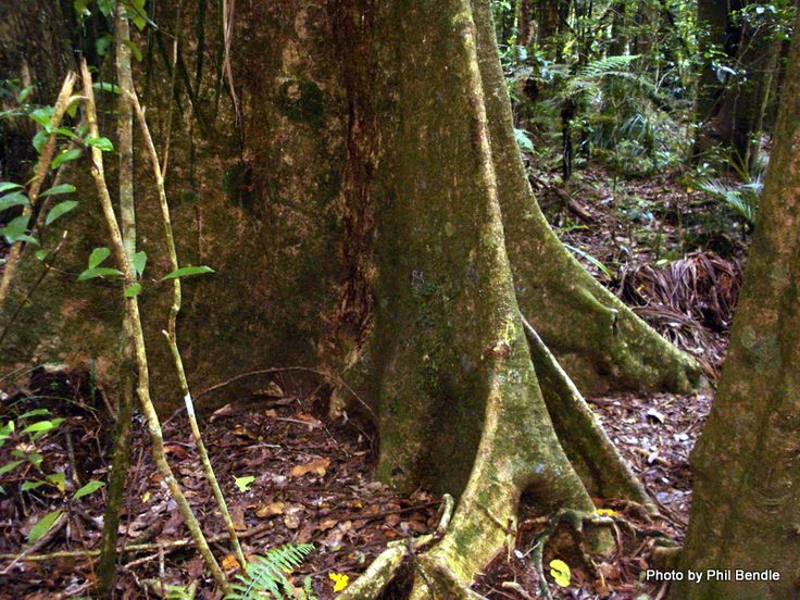 T.E.R:R.A.I.N - pukatea with plank buttresses at base of trunk; these support the tall trunk and heavy crown.