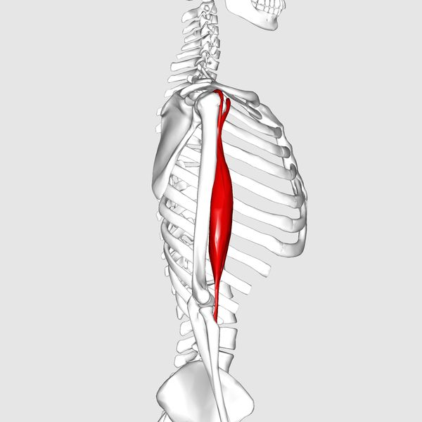 Biceps Brachii Muscle Why do some people succeed in losing weight more quickly than others?
