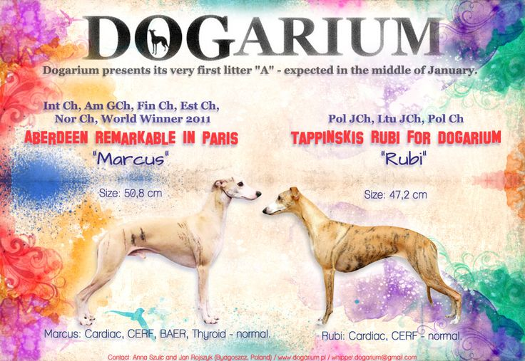 "Dogarium presents ad of its very first whippet litter ""A"" - born 19.01.2015 <3"
