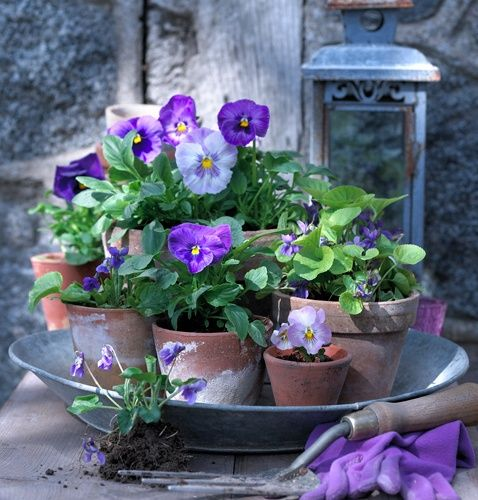 Sweet purple and blue pansies in a garden vignette