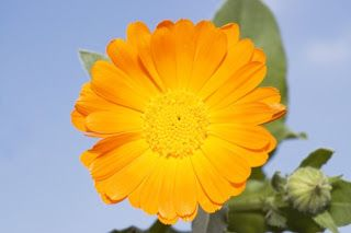 Ajurweda-w-życiu-i-biznesie: Nagietek - kwiat słońca