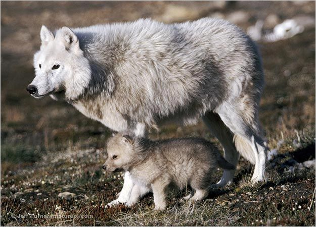An Arctic wolf protects her pup outside their den on Canada's Ellesmere Island. Wolves born into High Arctic packs have a precarious life ahead of them if they are to grow big enough to survive their first winter. The scarcity of prey on the tundra means wolf packs in the High Arctic are smaller here than they are further south.