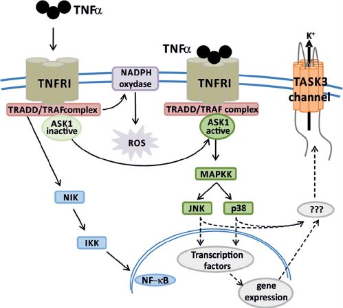 See figure: 'Apoptotic cell death needs the presence of TNF ␣ and hTASK3 potassium...' from publication 'Enhancement of TASK3 two pore domain potassium channel activity by TNFα' on ResearchGate, the professional network for scientists.