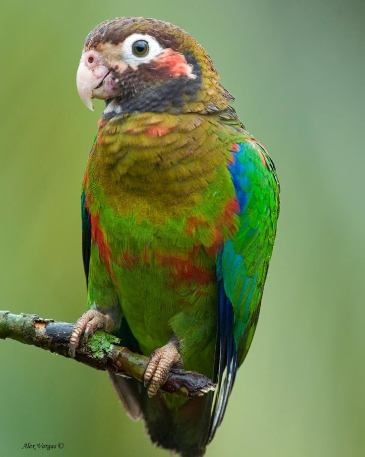 Best Food For Peach Fronted Conure