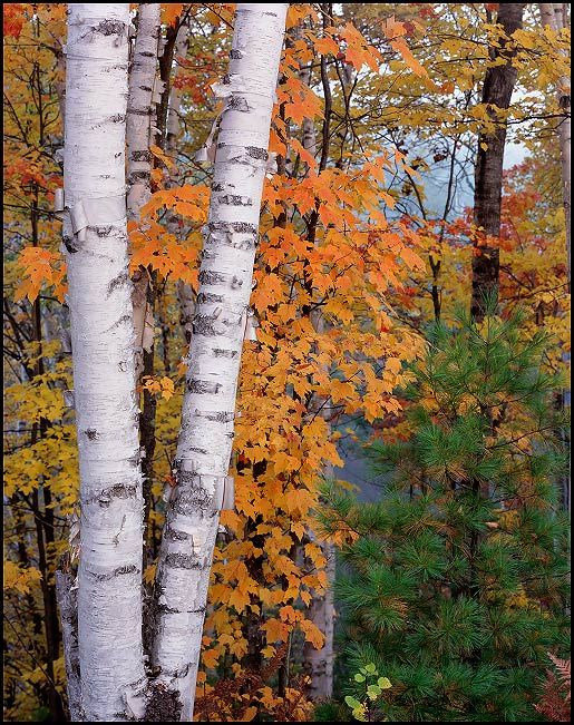 Paper Birches and Maples in Fall, Hiawatha National Forest, Upper Peninsula, Michigan | KGC Photo