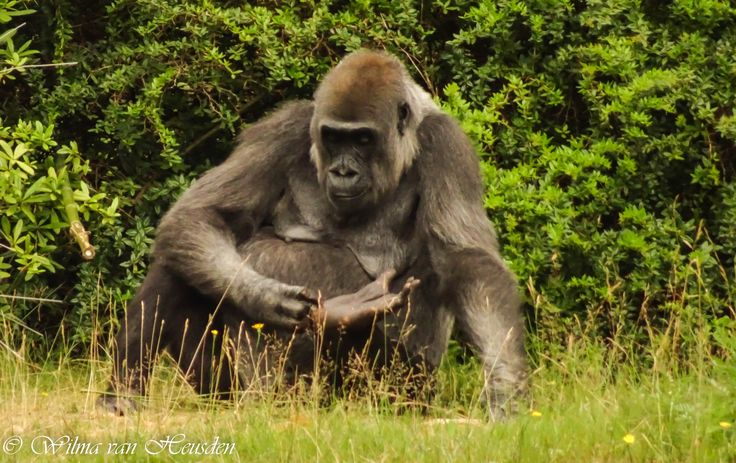 big momma gorilla