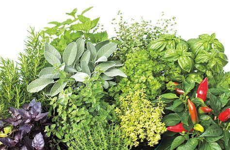 Growing Culinary Herbs - Phoenix Home & Garden