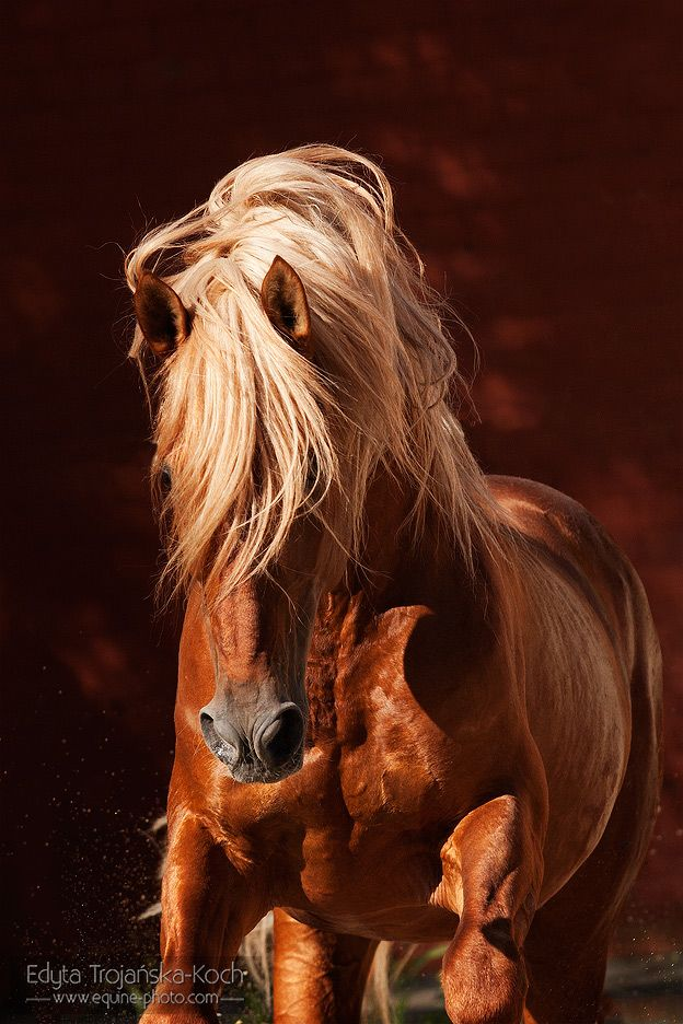 Andalusian stallion, Spain