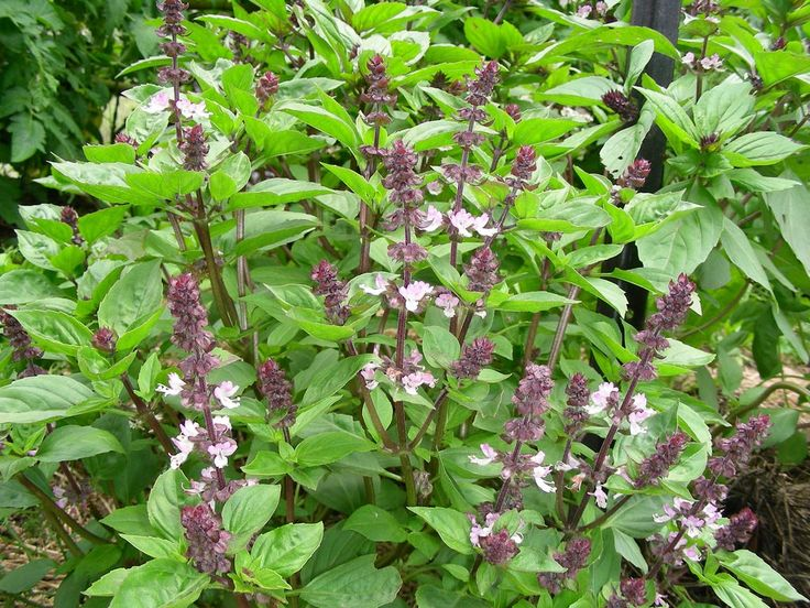 If you enjoy sweet basil, you may be interested in learning how to grow sweet basil Thai. There are so many varieties of basil that many people overlook this. It's…