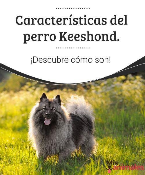 Características del perro Keeshond. ¡Descubre cómo son!   El perro Keeshond llama la atención por su hocico puntiagudo -que hace recordar a un zorro-, por sus ojos de mirada inteligente y atenta. #raza #descubrir #curiosidades #características