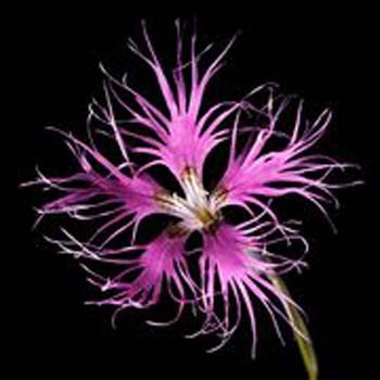 Gillyflower (Dianthus sp.)