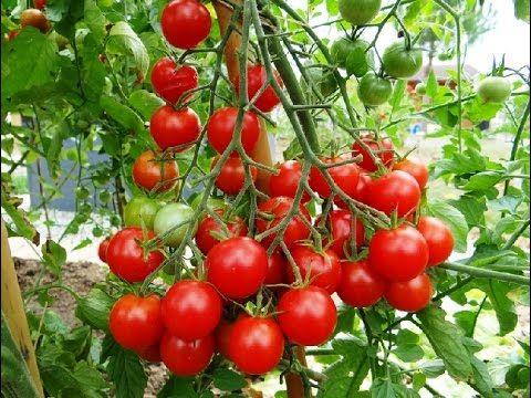 évolution de tomates cerises en pot   Tarte cerise, Arbre fruitier, Jardin fruitier