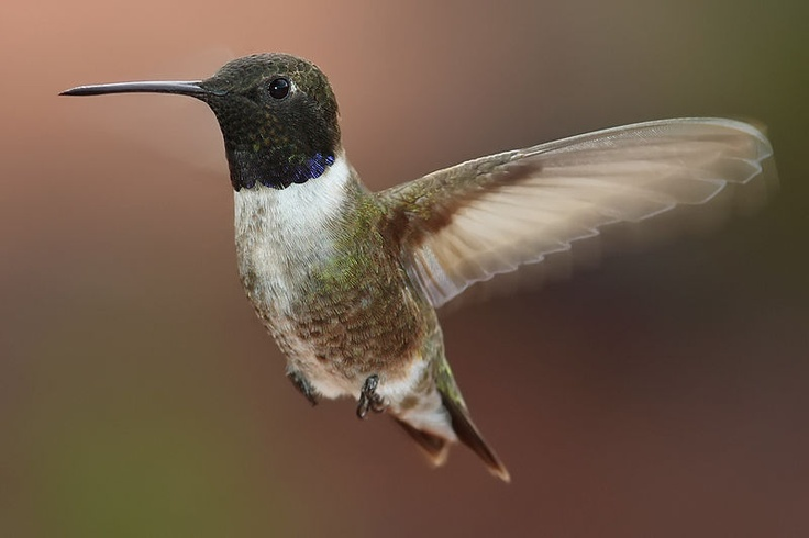 15 Different Species or Types Of Hummingbirds Birds