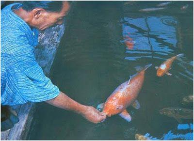 Live Koi Fish for Sale in Cebu , Goldfish for Sale in Cebu: #Hanako the oldest koi