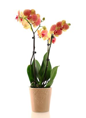Does the concept of fertilizing your orchid lead to more questions than answers? 5 common orchid fertilizing questions answered here!