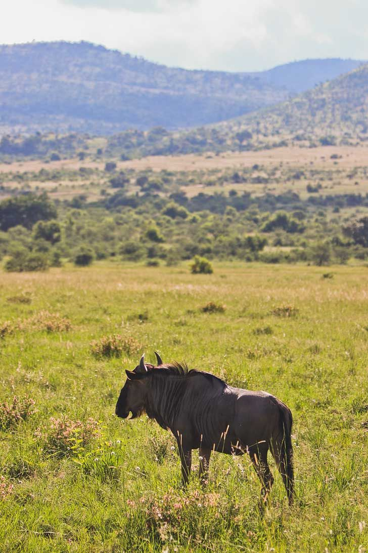 Pilanesberg Game Drive Safari - an Amazing Day Trip from Johannesburg South Africa // localadventurer.com