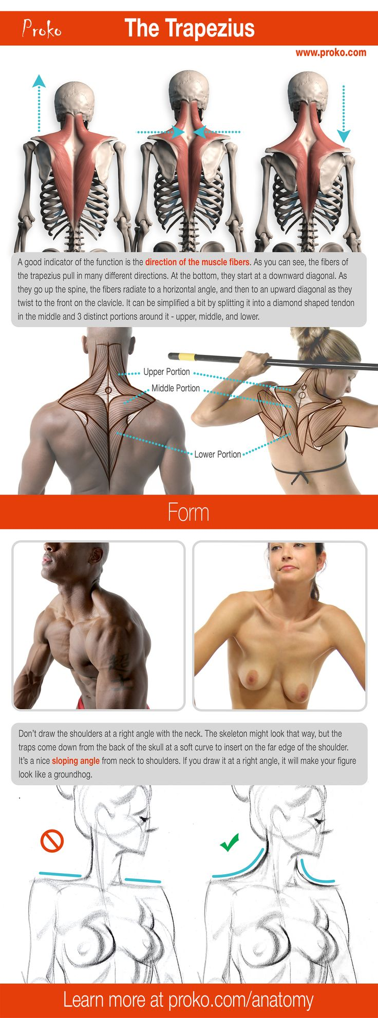 Here's a detailed look at the the trapezius. Learn more about how to draw the…