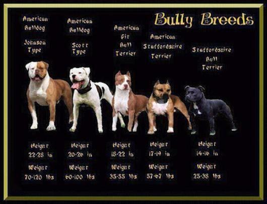 amerikansk pit bull terrier - Google-søk