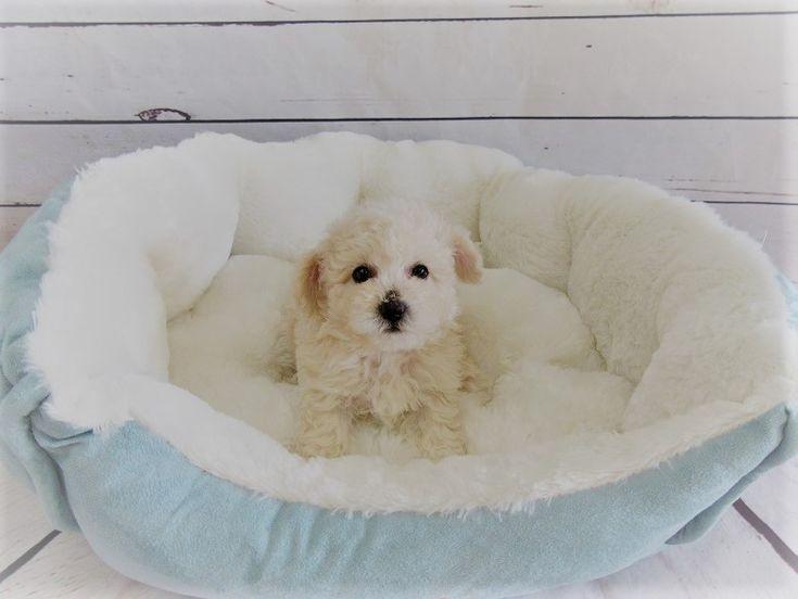 Maltipoo puppy for sale in LA MIRADA, CA. ADN-47084 on PuppyFinder.com Gender: Male. Age: 10 Weeks Old