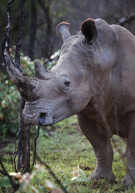 Bush portrait--White rhino