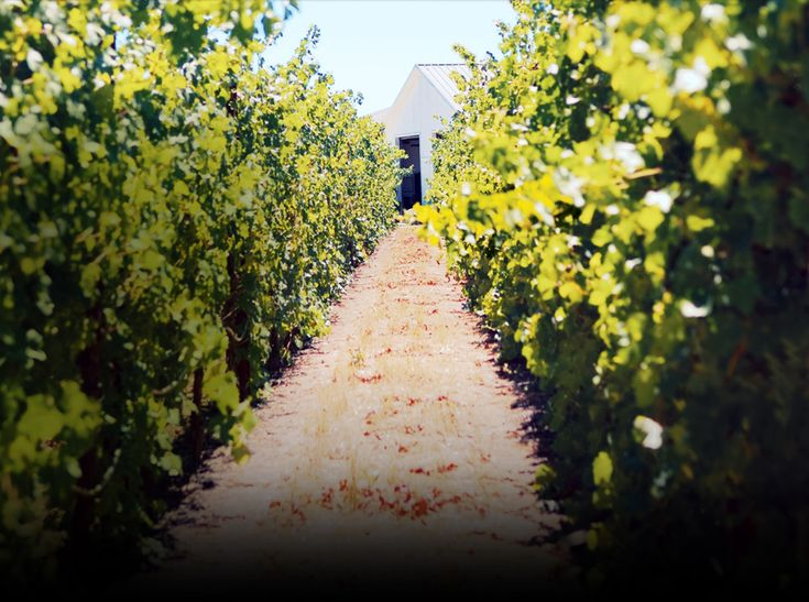 Livermore Valley:  Pioneer Livermore winemakers C. H. Wente and James Concannon planted their vineyards in the early 1880s. Did you know 80% of California Chardonnay can be genetically traced to Livermore Valley? #CalifWines