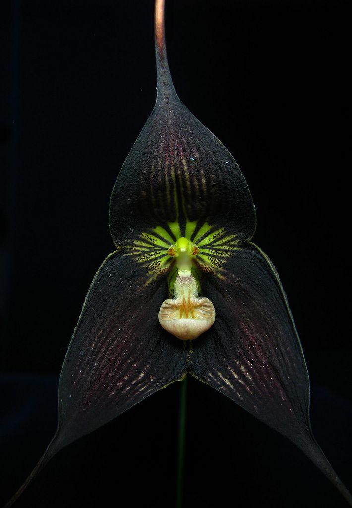 Little Black Dragon Monkey Orchid (Dracula vampira negra)