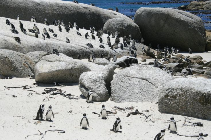 Stop over at Boulders beach to watch Penguins who have chosen sand over ice as their home