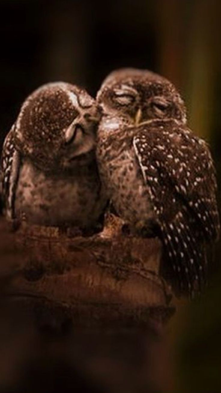 Kissing owls--even closed their eyes!