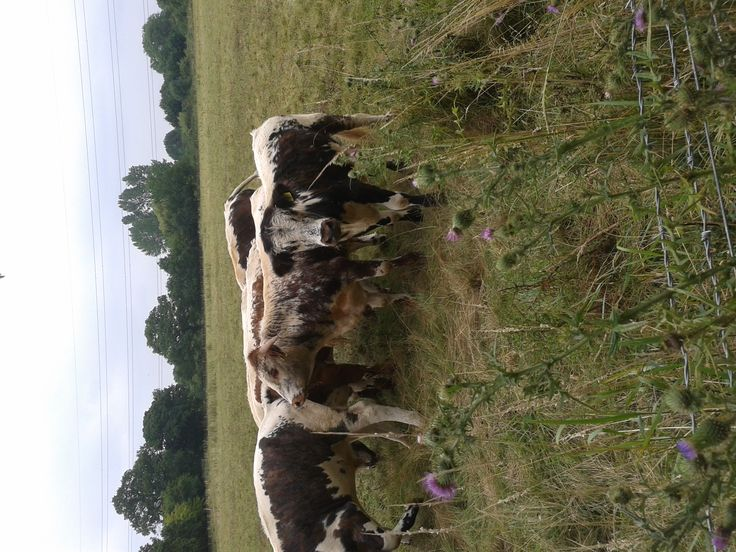 Young long horned bulls in Cheshunt park